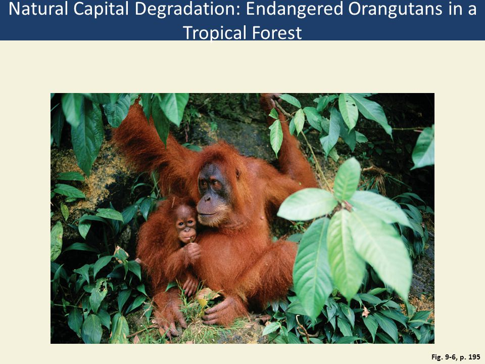 Natural Capital Degradation: Endangered Orangutans in a Tropical Forest