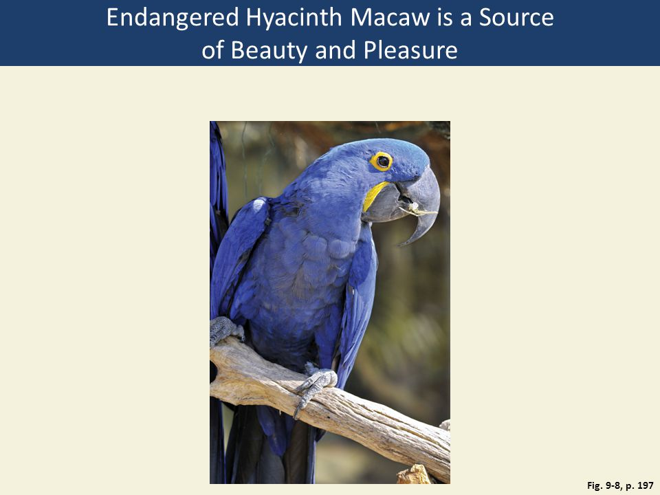 Endangered Hyacinth Macaw is a Source of Beauty and Pleasure