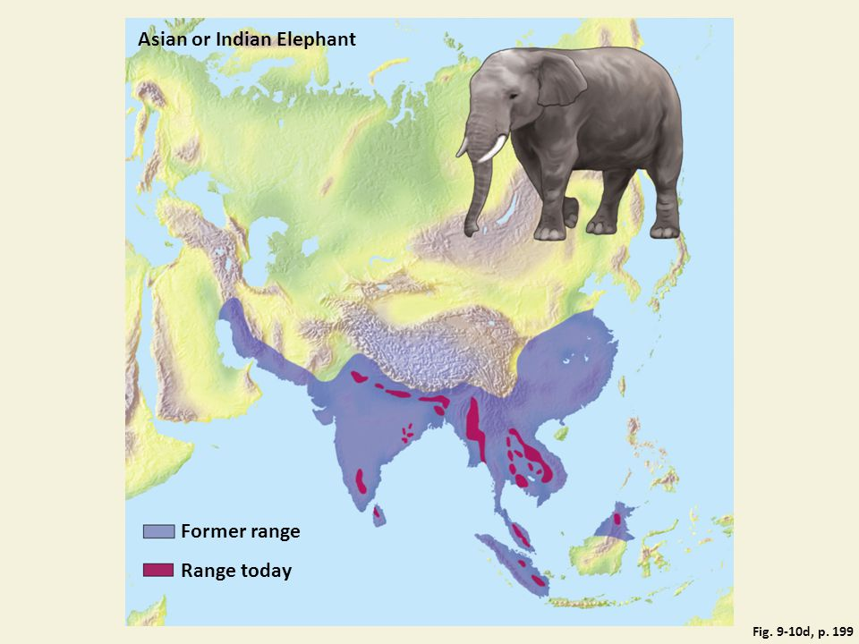 Asian or Indian Elephant