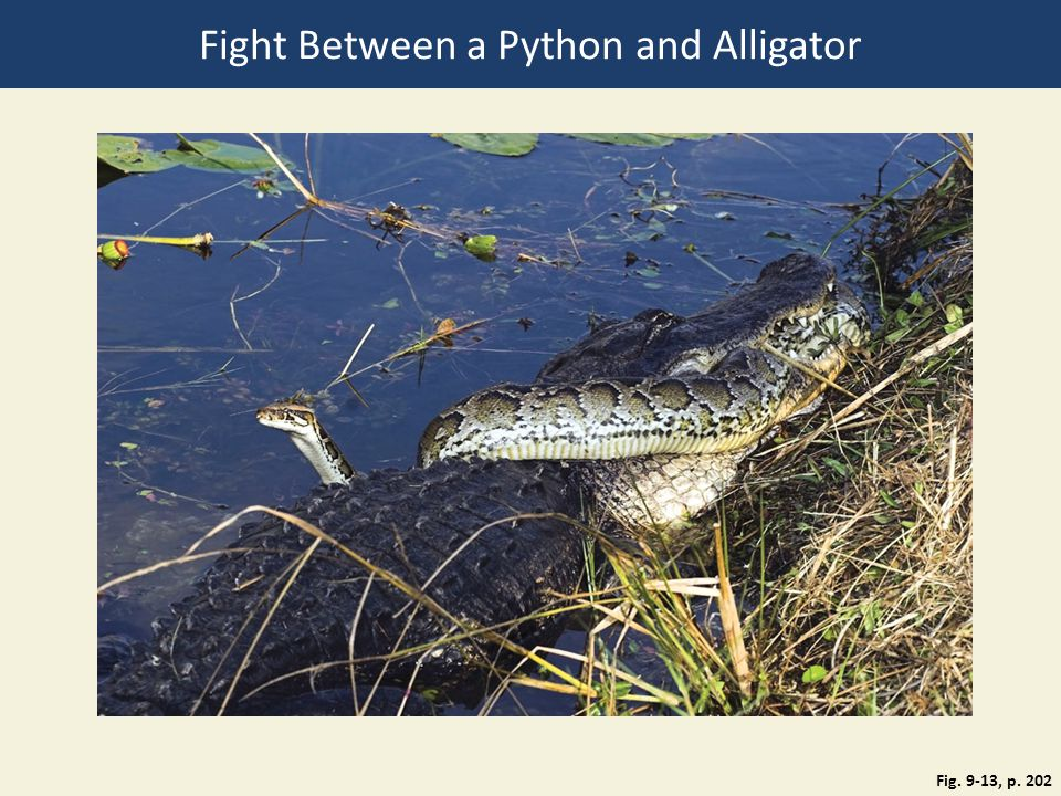 Fight Between a Python and Alligator