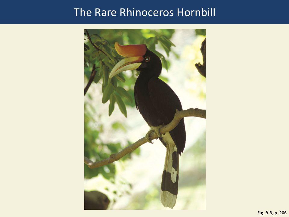 The Rare Rhinoceros Hornbill