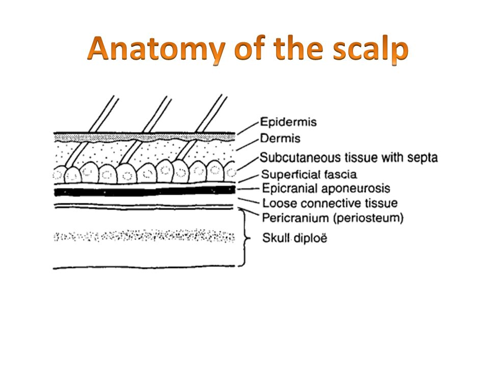 Anatomy of the scalp