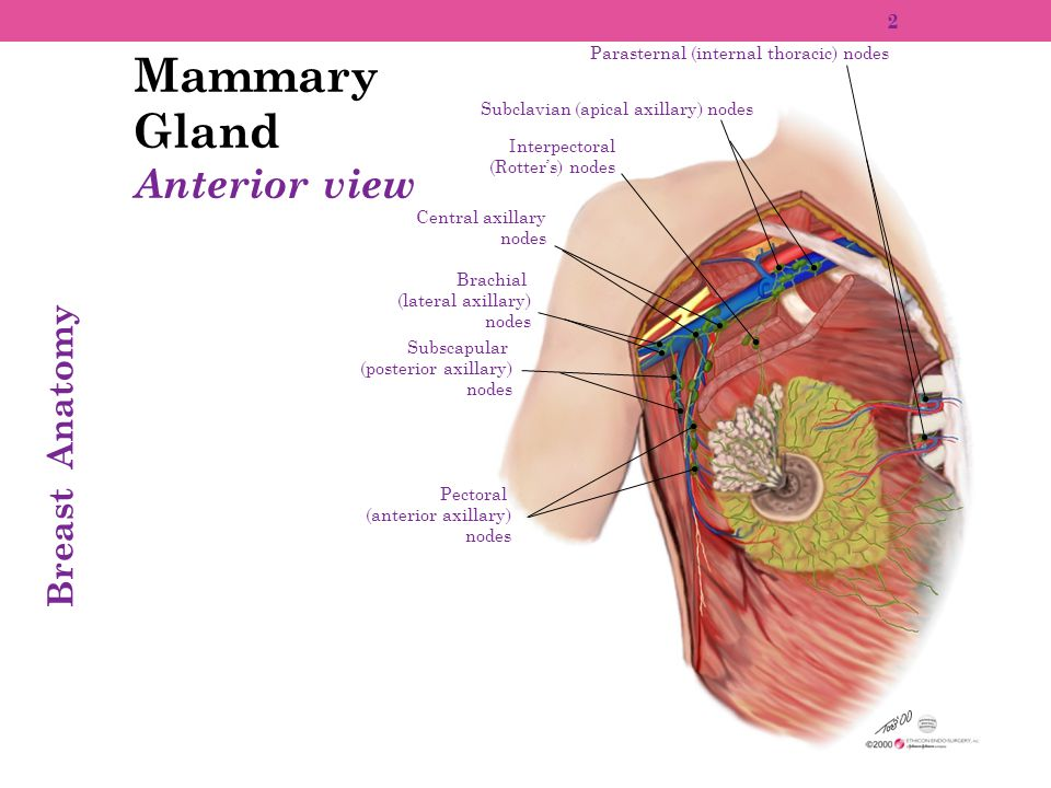 Mammary Gland Anterior view Breast Anatomy