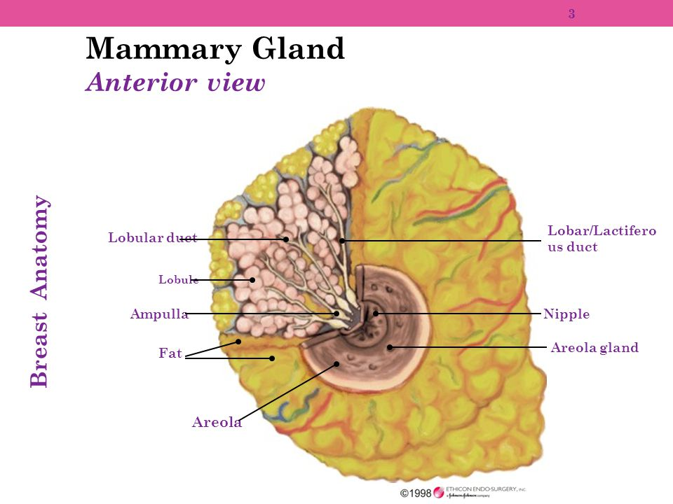 Mammary Gland Anterior view Breast Anatomy Areola