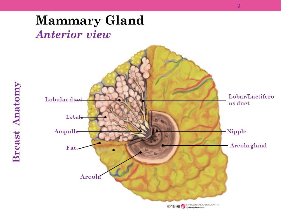 Anatomy of the mammary gland