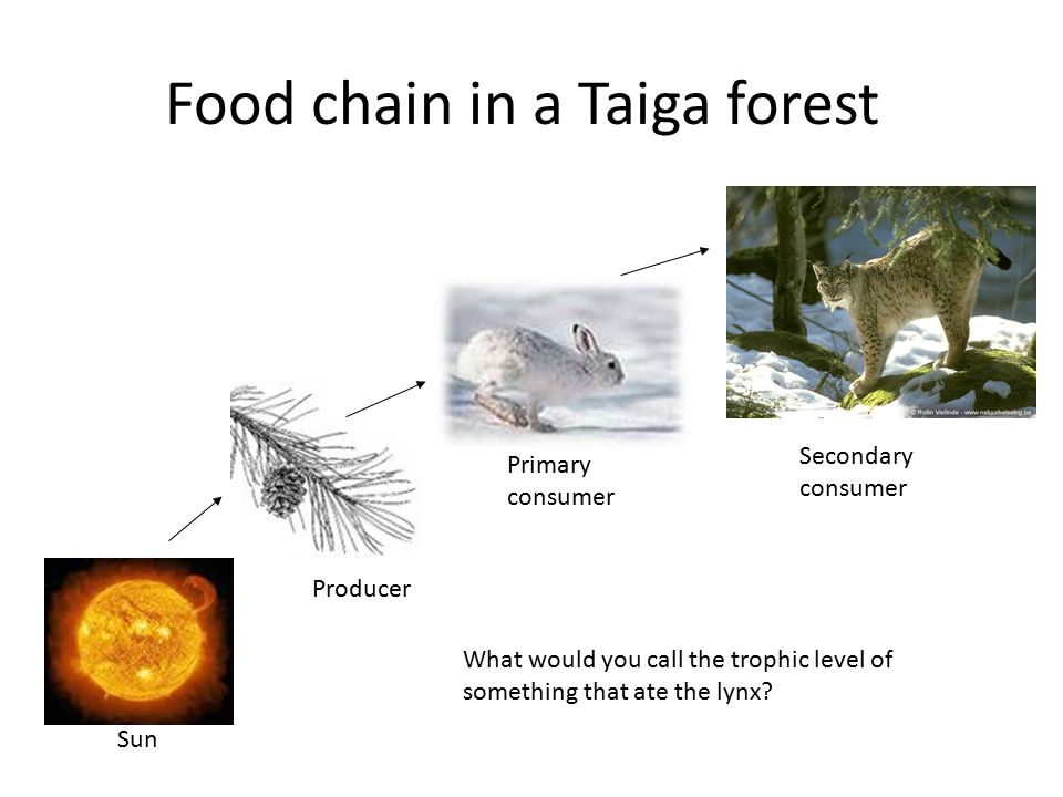 Food chain in a Taiga forest