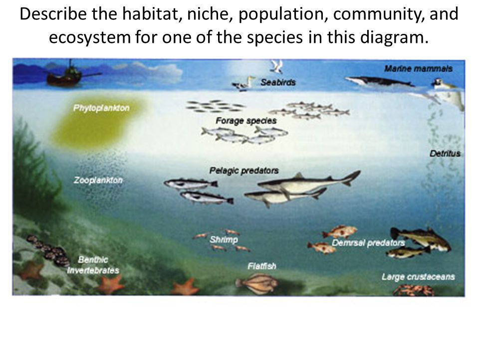 Describe the habitat, niche, population, community, and ecosystem for one of the species in this diagram.
