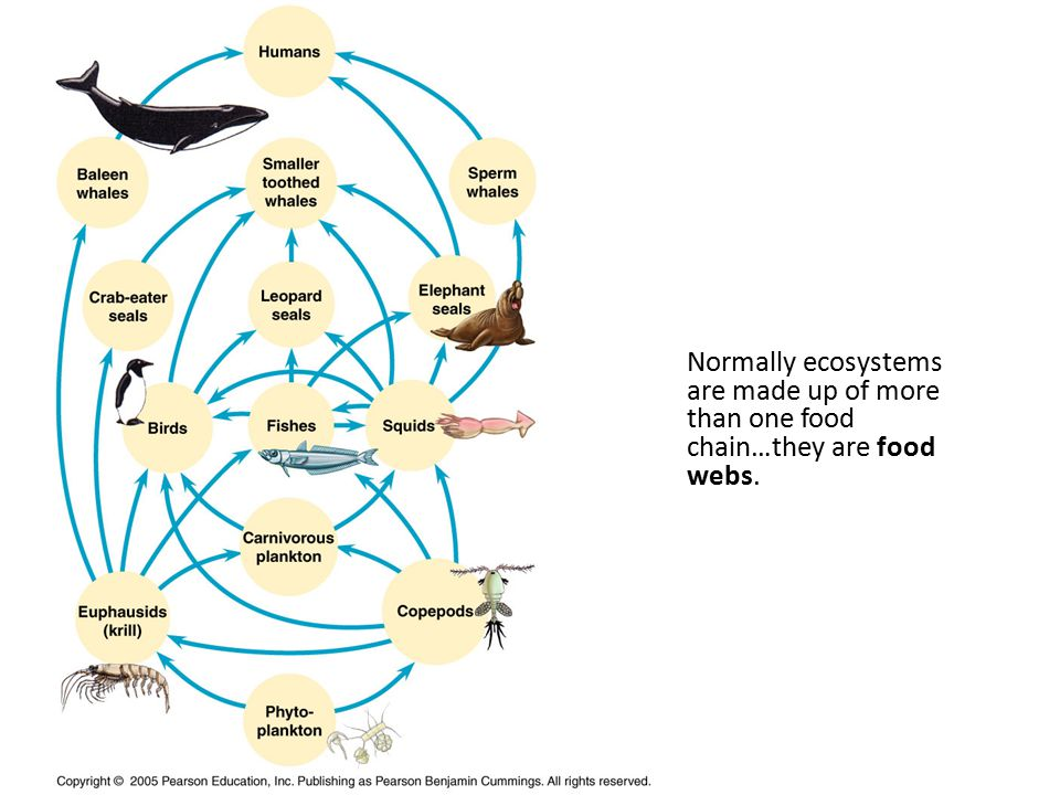 Normally ecosystems are made up of more than one food chain…they are food webs.