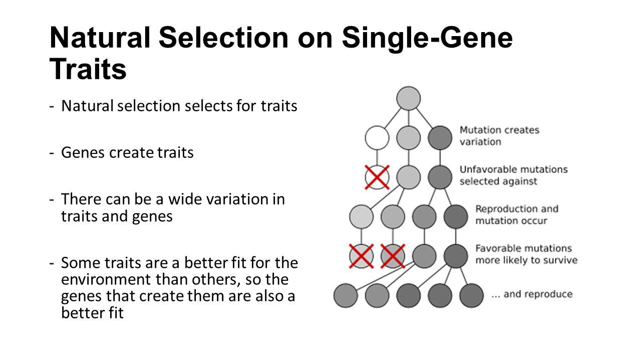Natural Selection on Single-Gene Traits