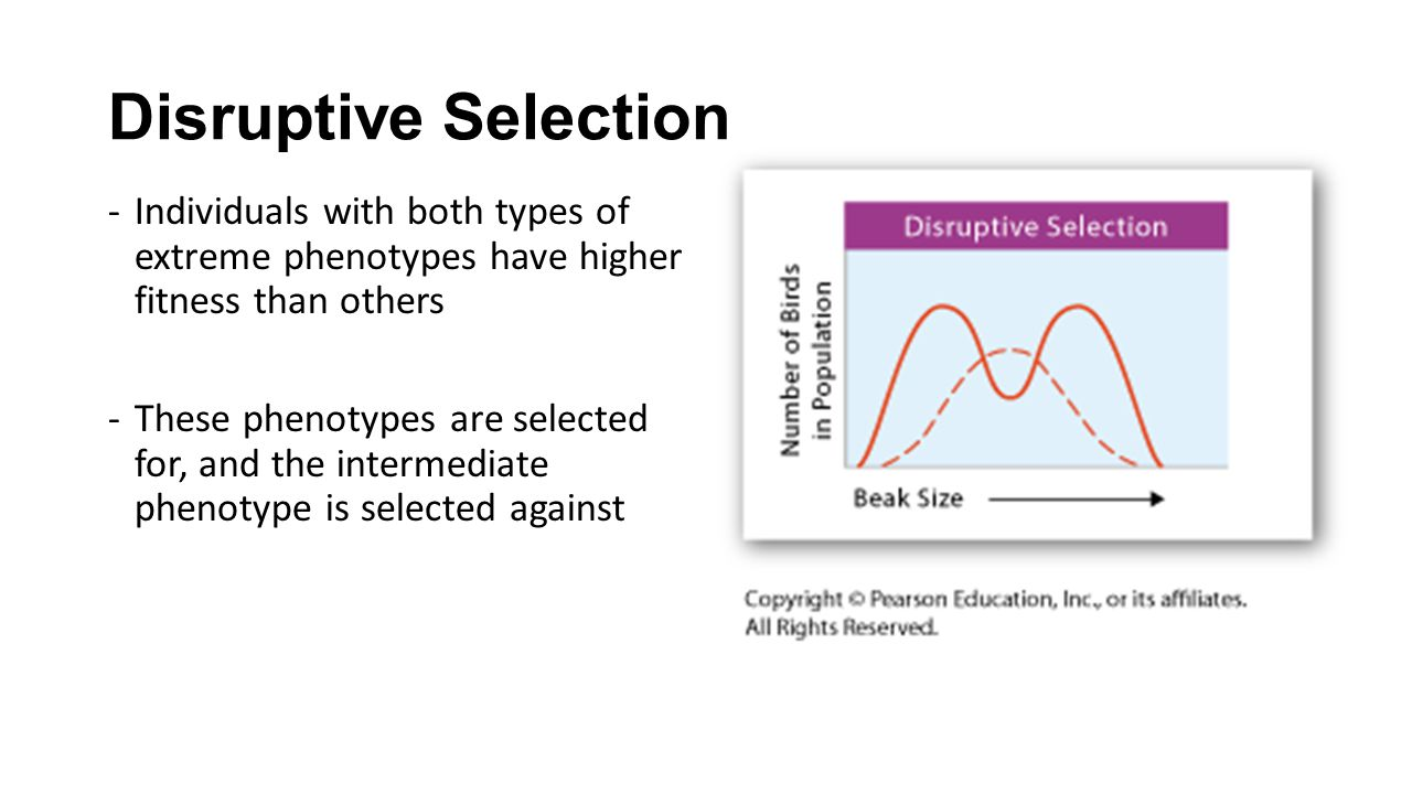 Disruptive Selection Individuals with both types of extreme phenotypes have higher fitness than others.