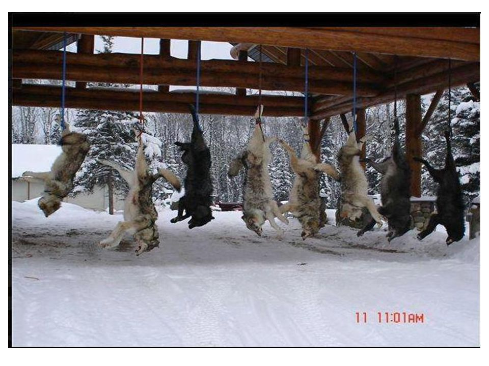 WI & MN approved a wolf hunting season in 2012