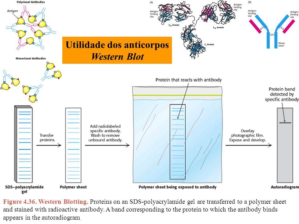 Utilidade dos anticorpos