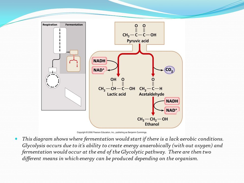 This diagram shows where fermentation would start if there is a lack aerobic conditions.