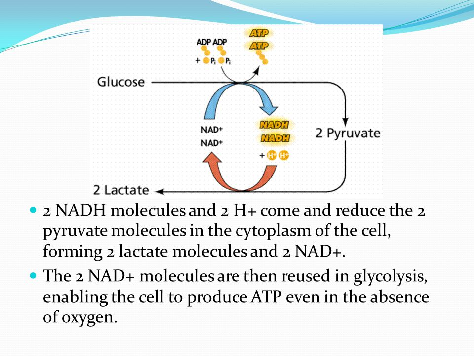 2 NADH molecules and 2 H+ come and reduce the 2 pyruvate molecules in the cytoplasm of the cell, forming 2 lactate molecules and 2 NAD+.