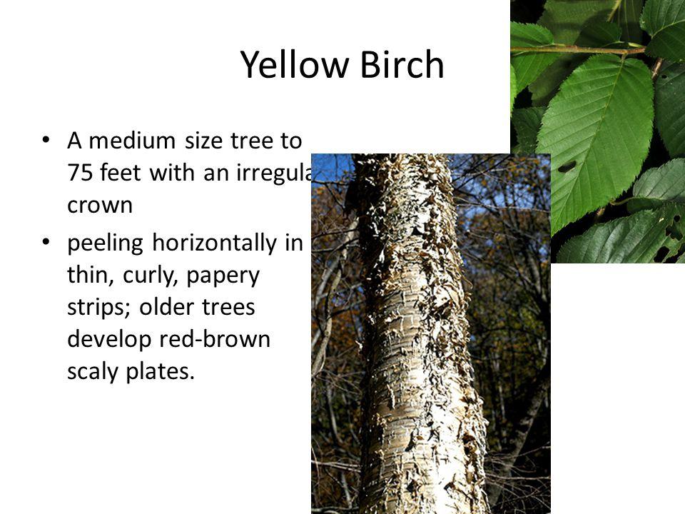 Yellow Birch A medium size tree to 75 feet with an irregular crown