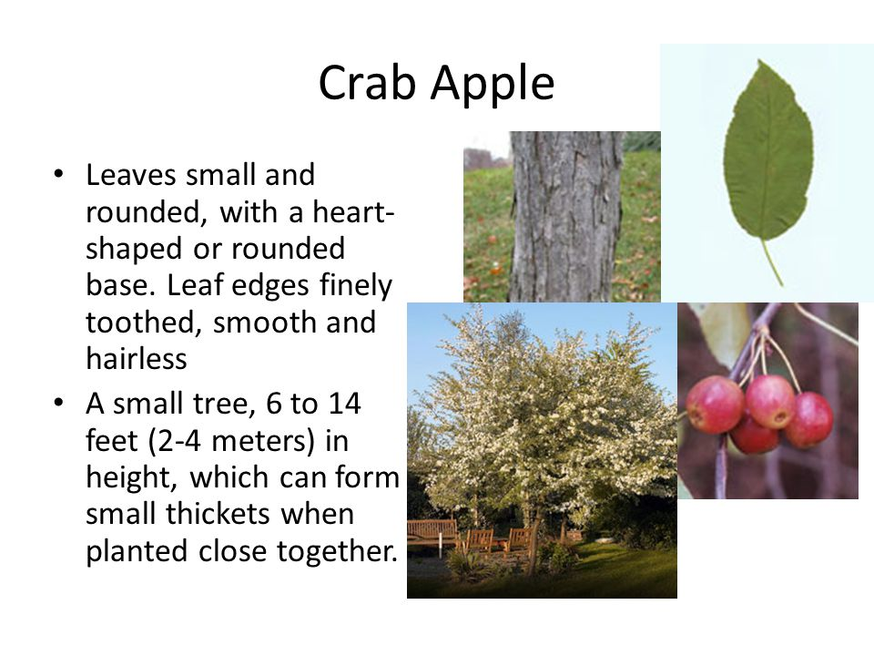 Crab Apple Leaves small and rounded, with a heart-shaped or rounded base. Leaf edges finely toothed, smooth and hairless.