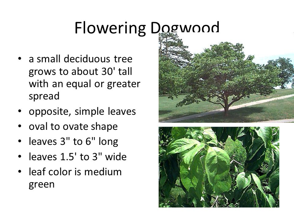 Flowering Dogwood a small deciduous tree grows to about 30 tall with an equal or greater spread. opposite, simple leaves.