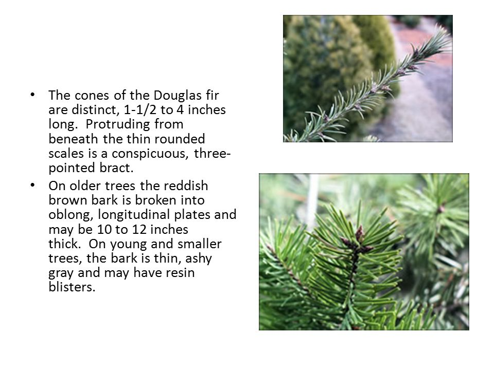 The cones of the Douglas fir are distinct, 1-1/2 to 4 inches long