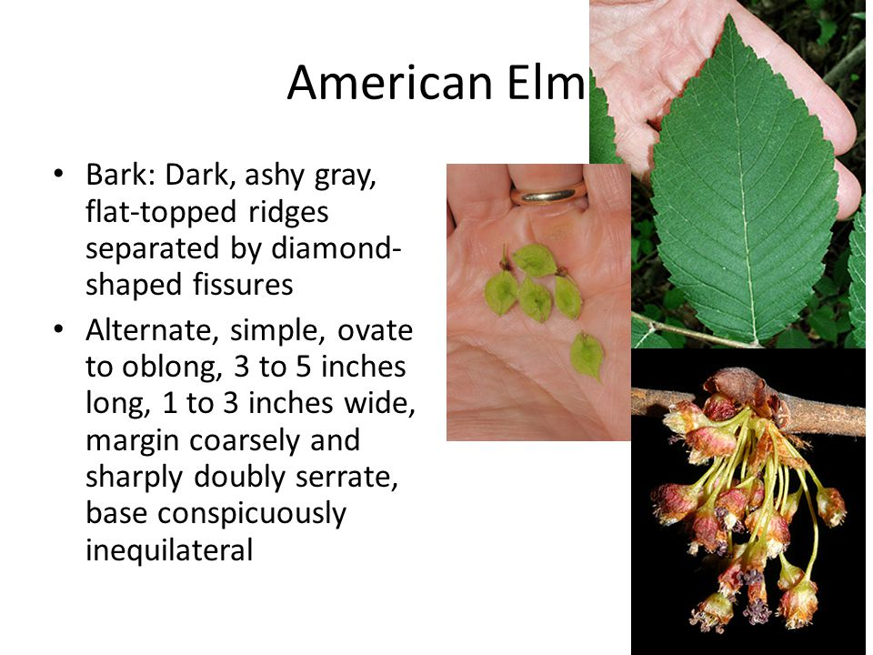 American Elm Bark: Dark, ashy gray, flat-topped ridges separated by diamond-shaped fissures.