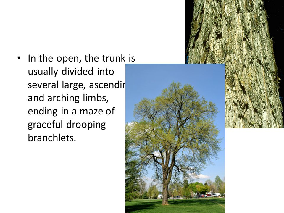 In the open, the trunk is usually divided into several large, ascending and arching limbs, ending in a maze of graceful drooping branchlets.