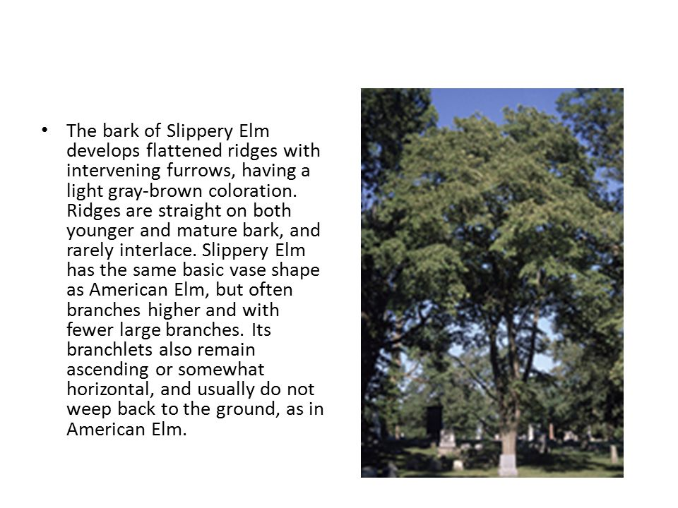 The bark of Slippery Elm develops flattened ridges with intervening furrows, having a light gray-brown coloration.