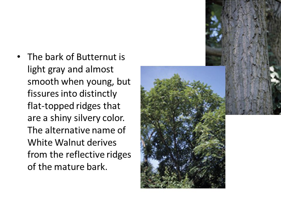The bark of Butternut is light gray and almost smooth when young, but fissures into distinctly flat-topped ridges that are a shiny silvery color.