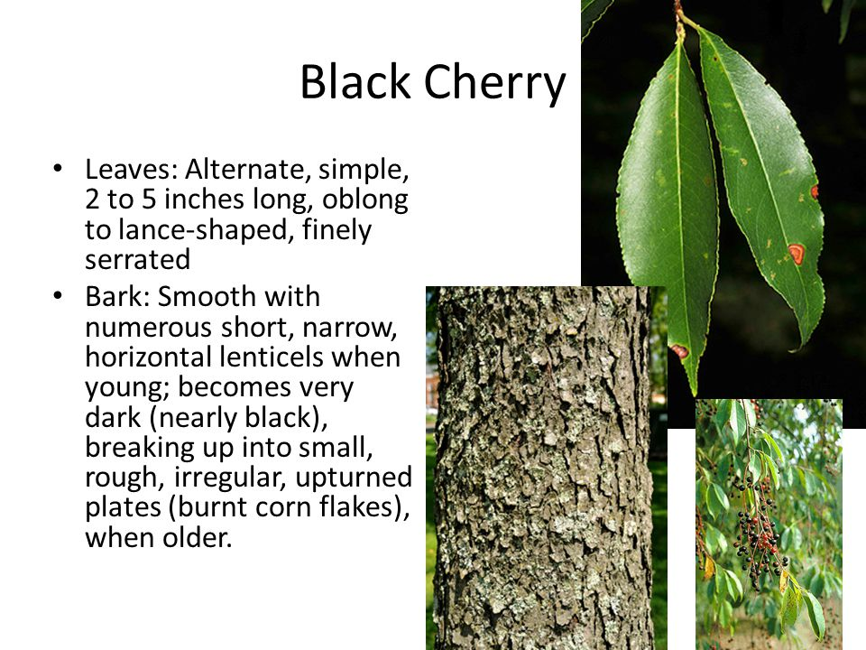 Black Cherry Leaves: Alternate, simple, 2 to 5 inches long, oblong to lance-shaped, finely serrated.