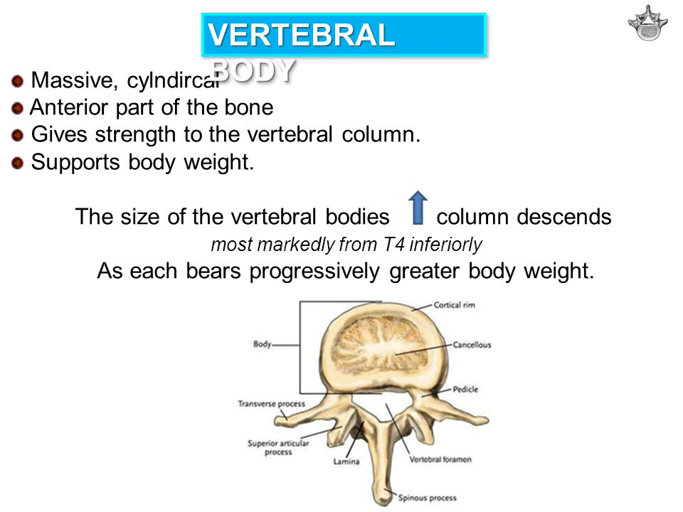 VERTEBRAL BODY Massive, cylndircal Anterior part of the bone