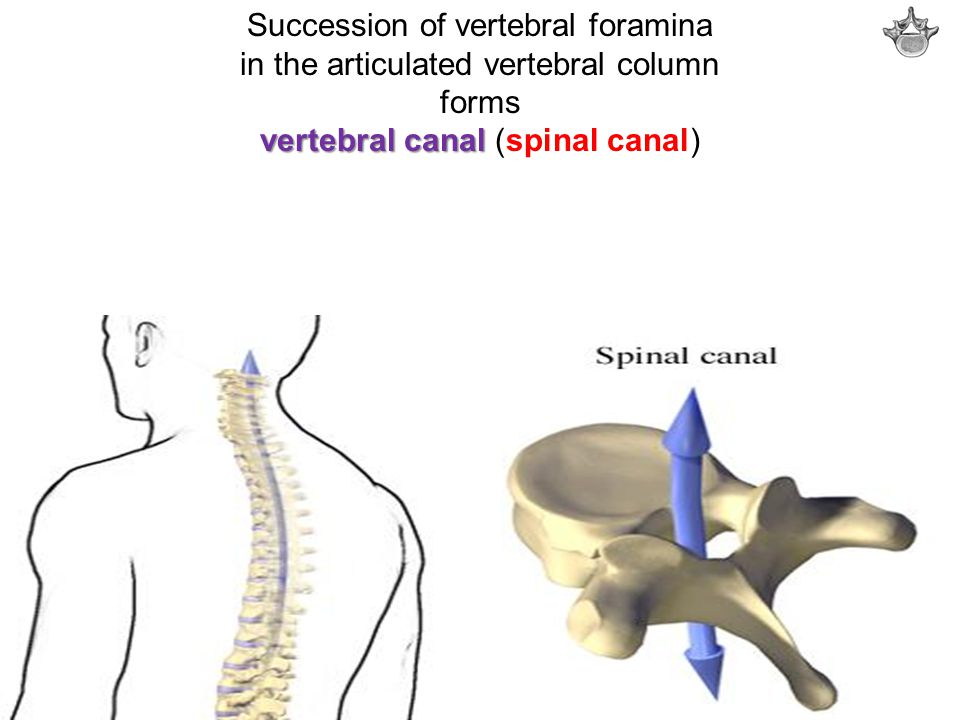 Succession of vertebral foramina in the articulated vertebral column