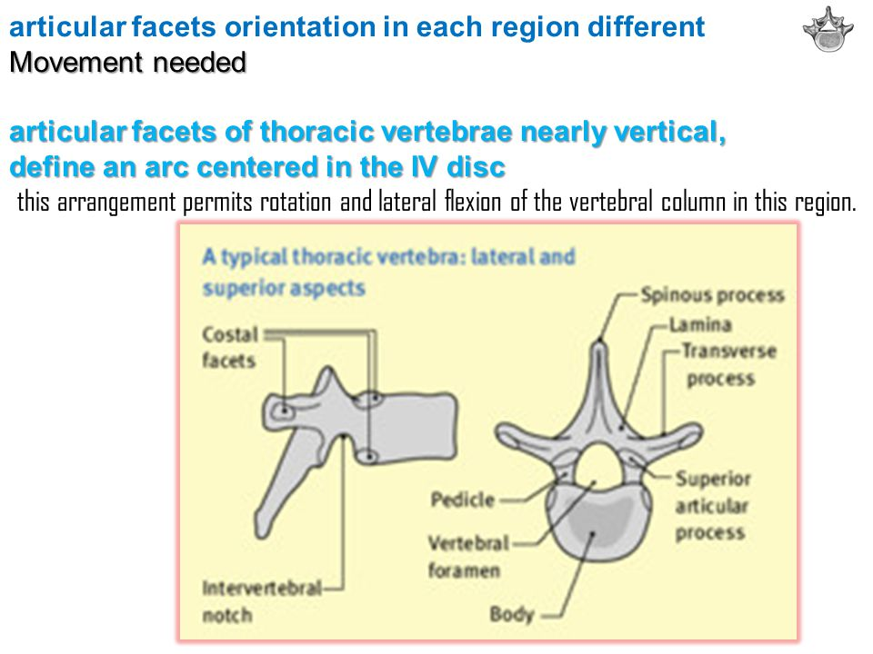 articular facets orientation in each region different