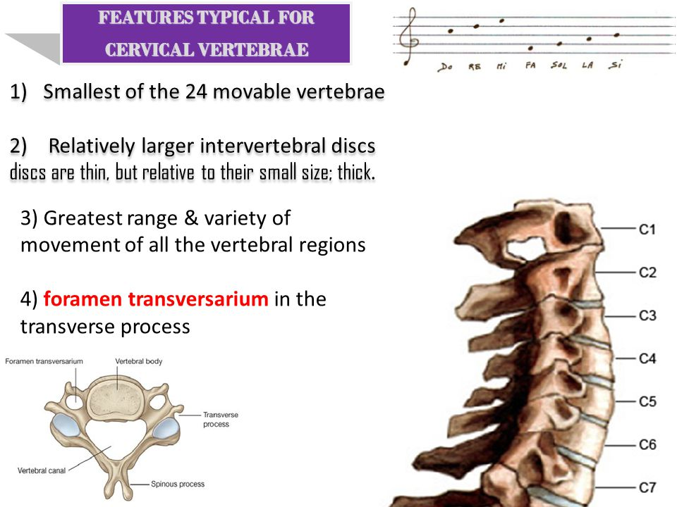 Smallest of the 24 movable vertebrae