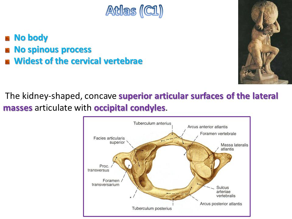 Atlas (C1) No body No spinous process Widest of the cervical vertebrae