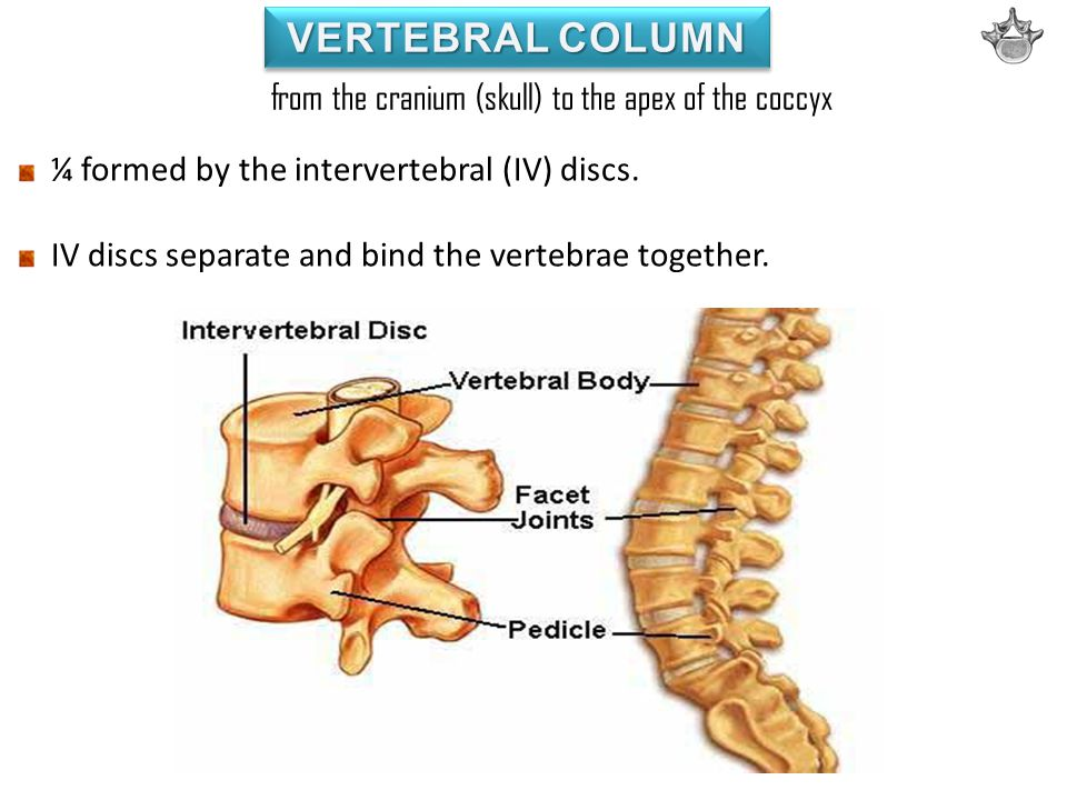 VERTEBRAL COLUMN from the cranium (skull) to the apex of the coccyx