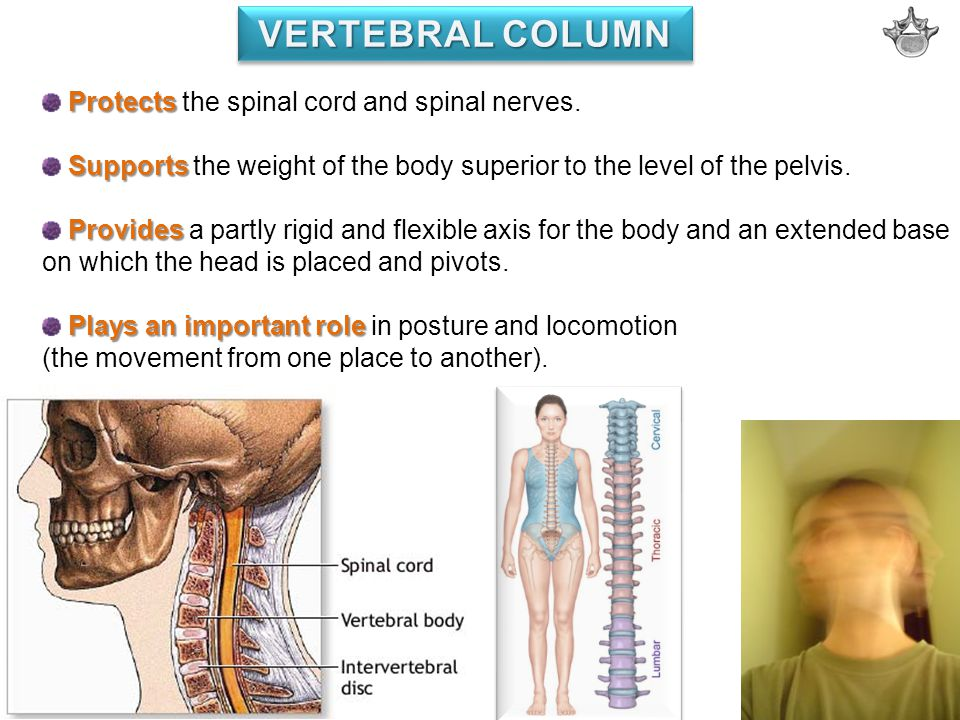 VERTEBRAL COLUMN Protects the spinal cord and spinal nerves.