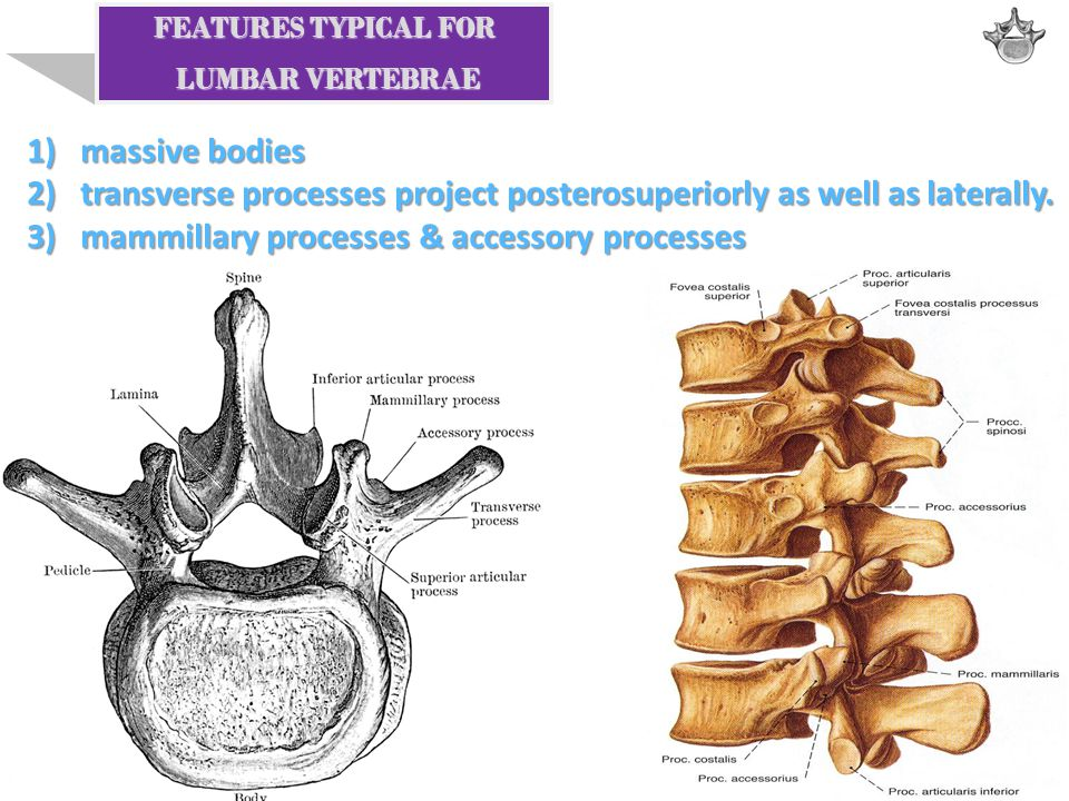 transverse processes project posterosuperiorly as well as laterally.