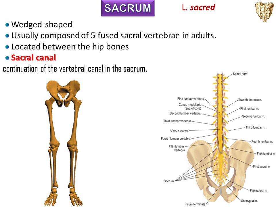 SACRUM L. sacred Wedged-shaped