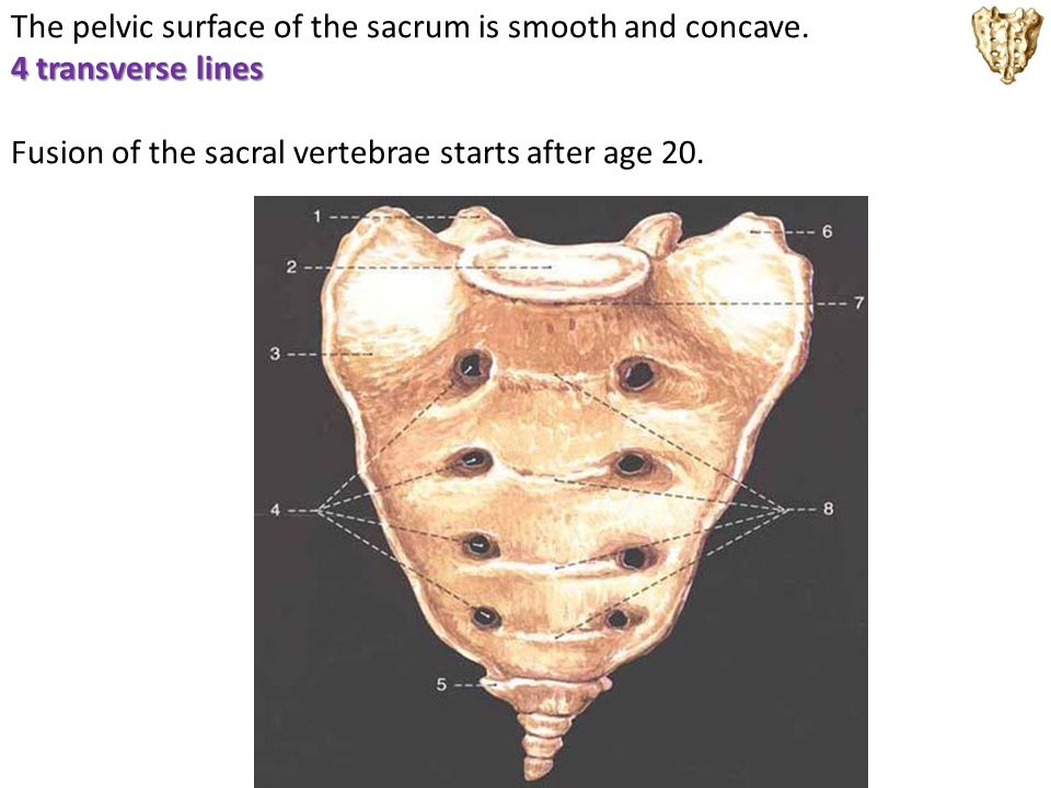 The pelvic surface of the sacrum is smooth and concave.