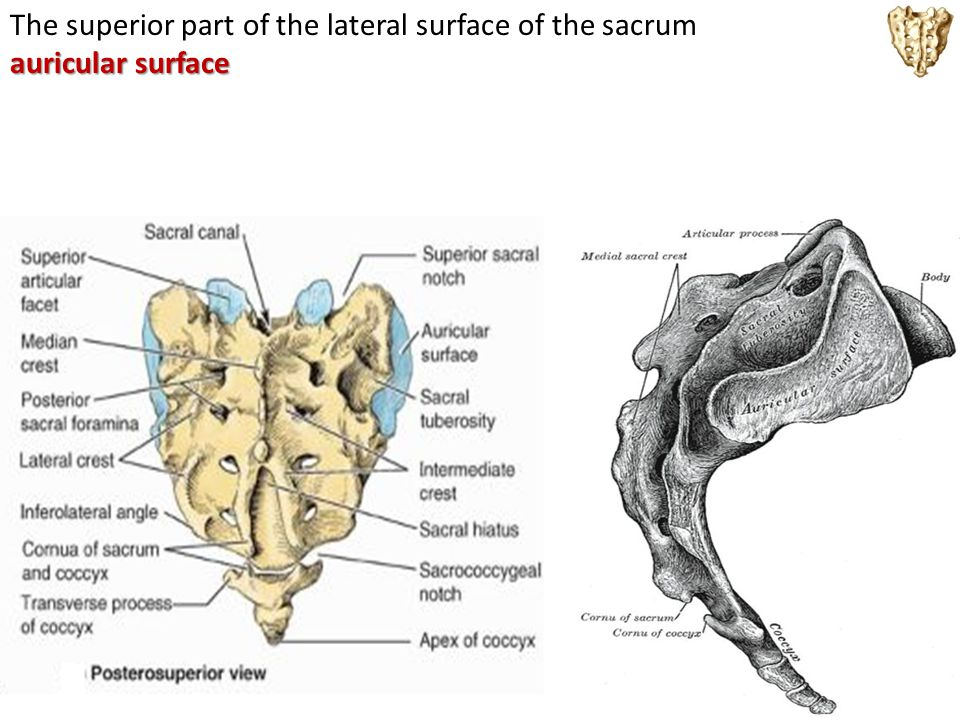 The superior part of the lateral surface of the sacrum