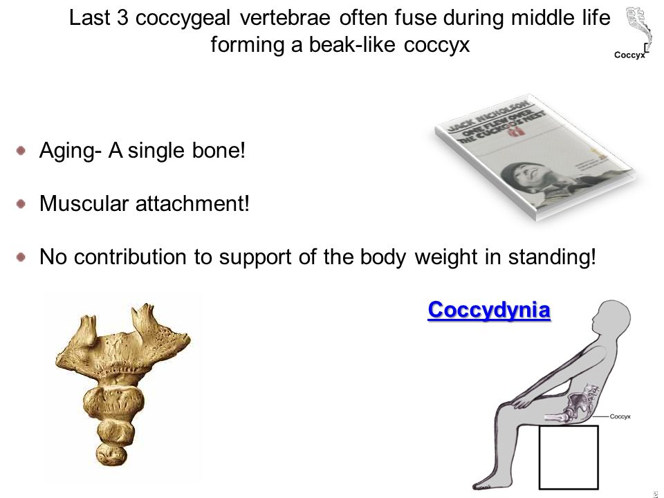 Last 3 coccygeal vertebrae often fuse during middle life