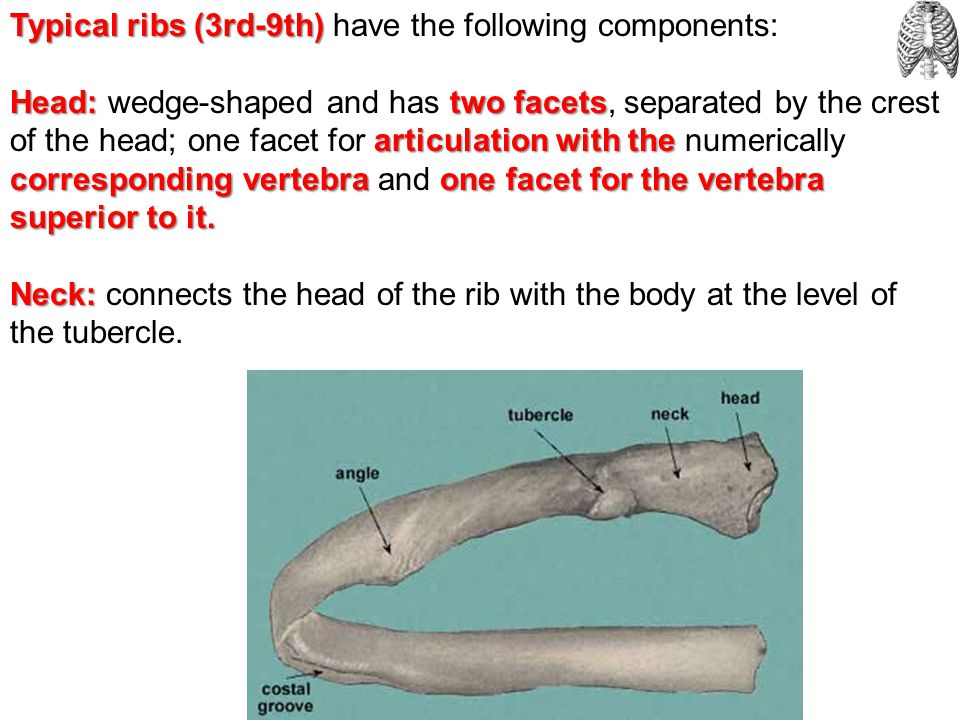 Typical ribs (3rd-9th) have the following components: