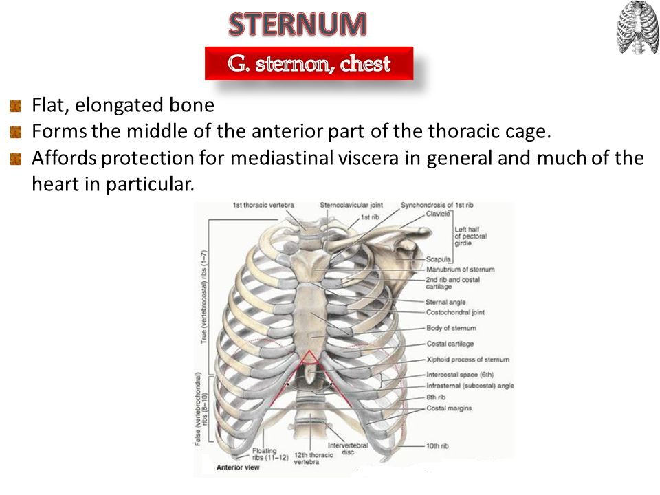 STERNUM G. sternon, chest Flat, elongated bone