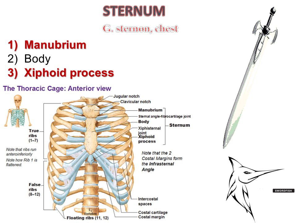 STERNUM G. sternon, chest Manubrium Body Xiphoid process