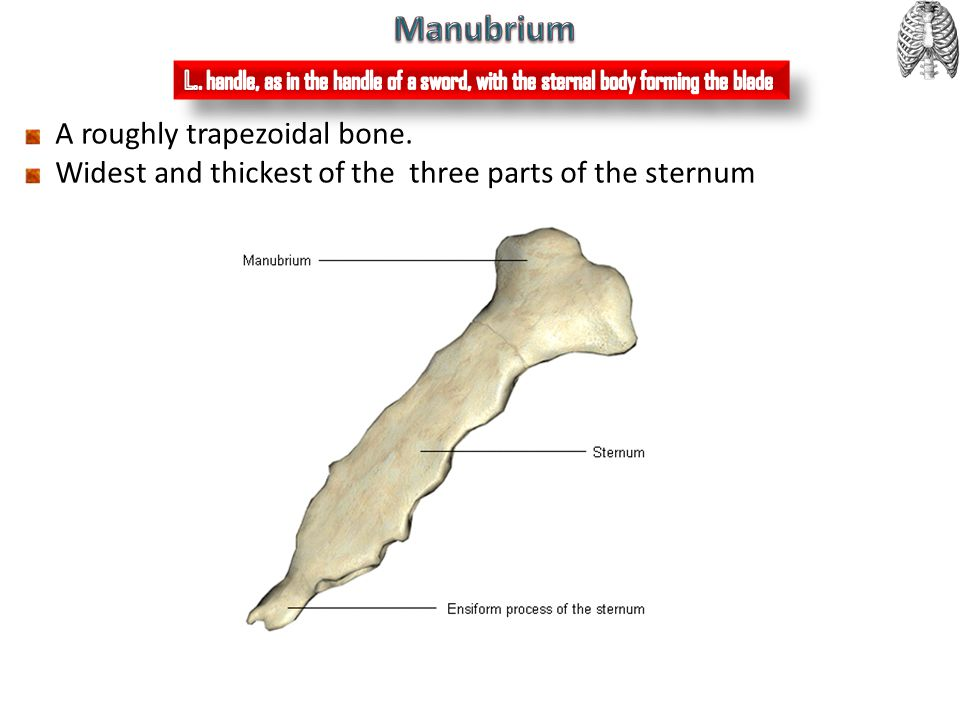 Manubrium A roughly trapezoidal bone.
