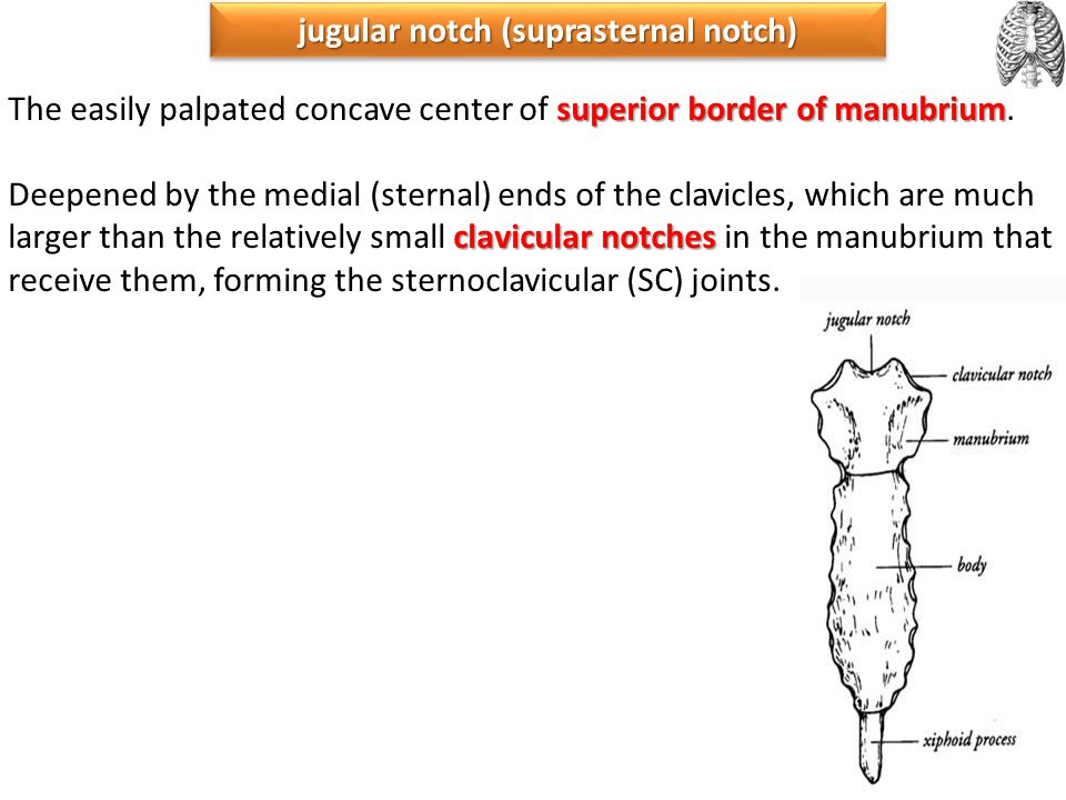 jugular notch (suprasternal notch)