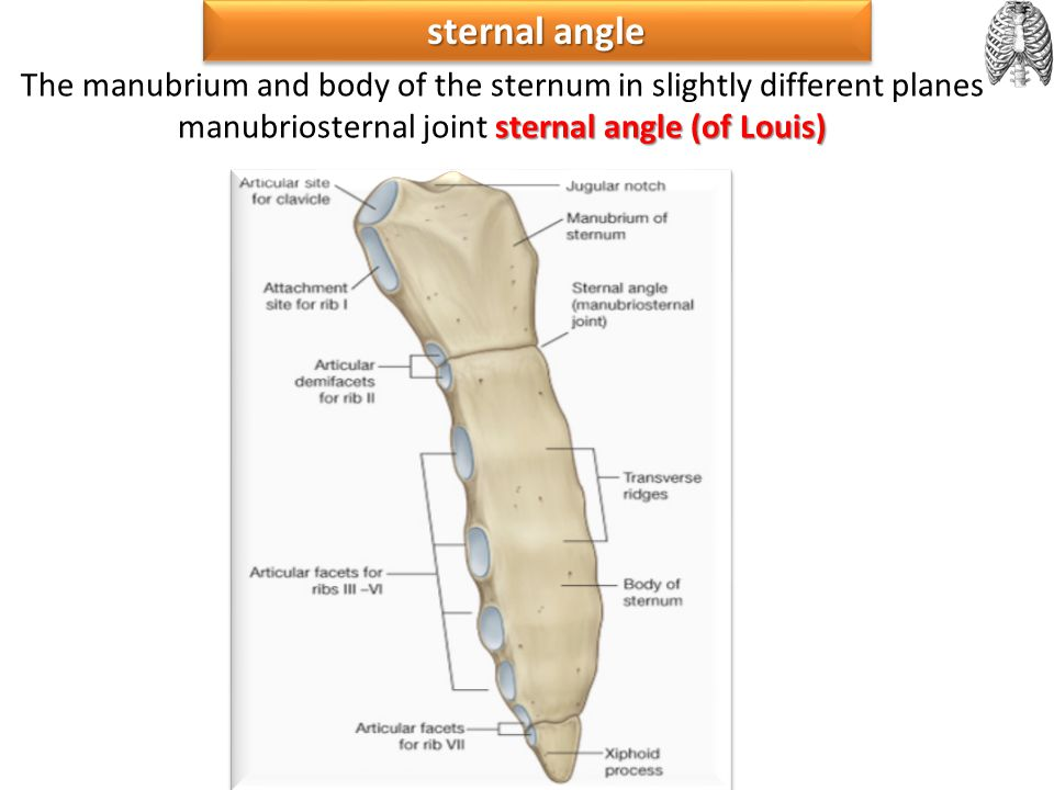 sternal angle The manubrium and body of the sternum in slightly different planes manubriosternal joint sternal angle (of Louis)