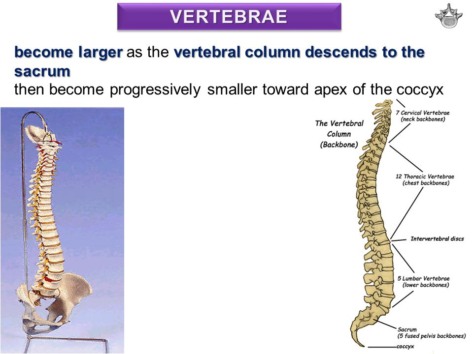 VERTEBRAE become larger as the vertebral column descends to the sacrum