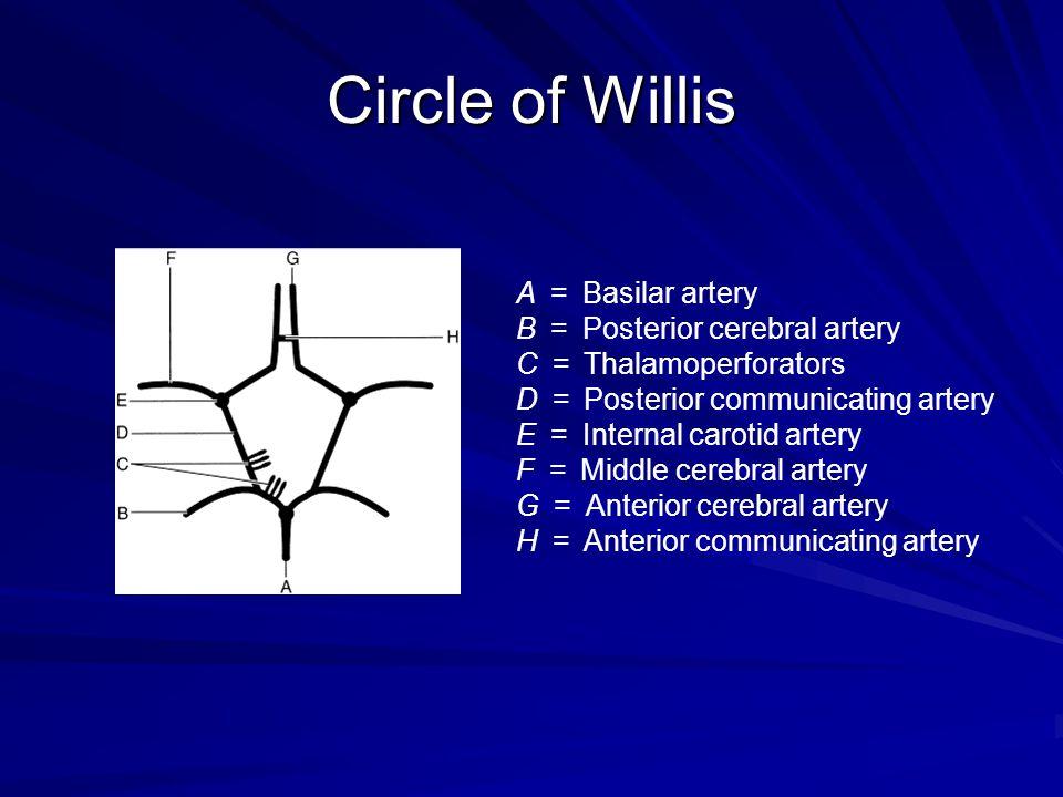 Circle of Willis A = Basilar artery B = Posterior cerebral artery