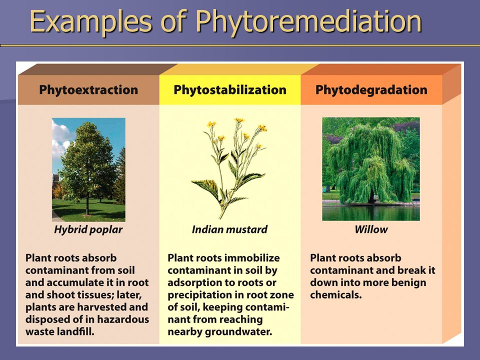 Examples of Phytoremediation