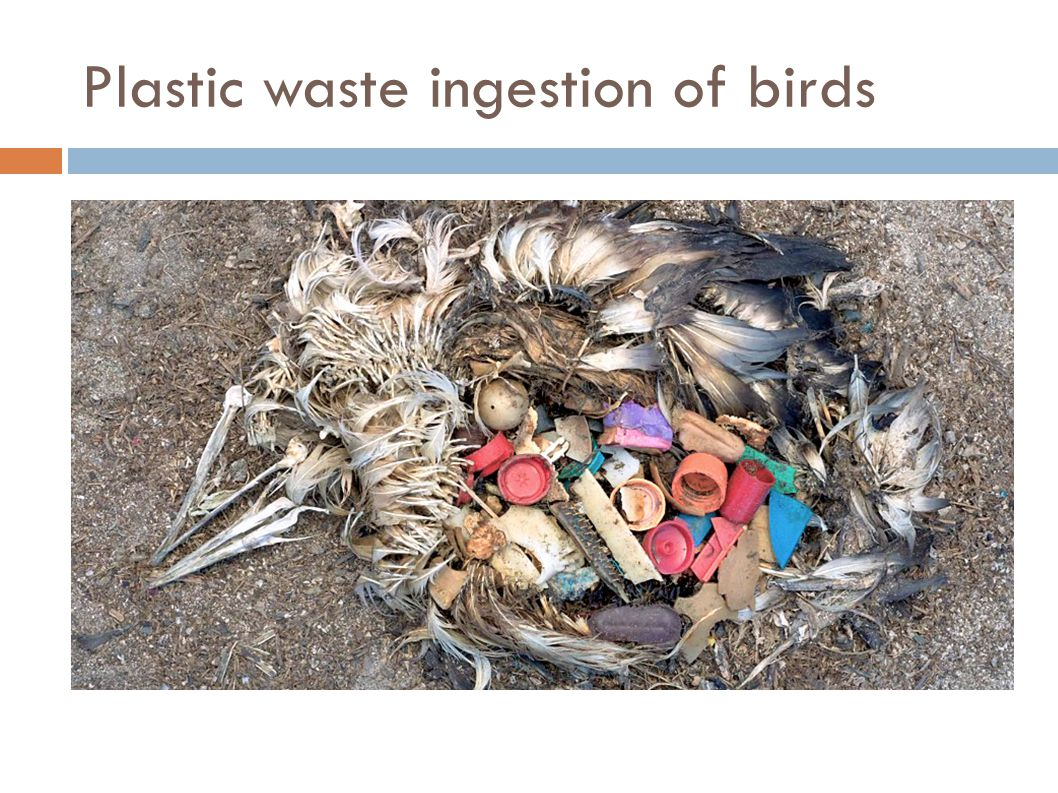Plastic waste ingestion of birds