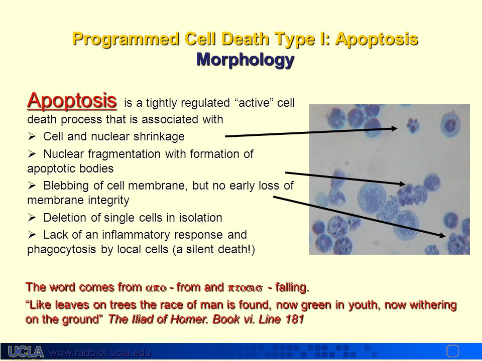 Programmed Cell Death Type I: Apoptosis Morphology